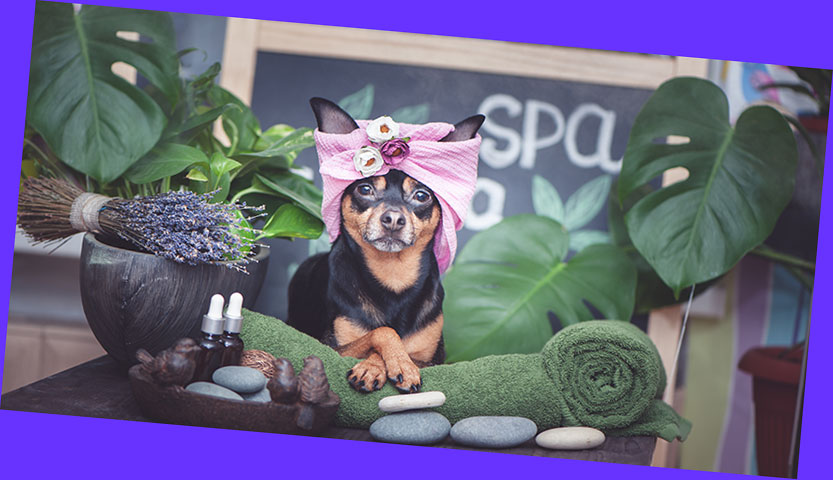 dog at day spa with hair wrap